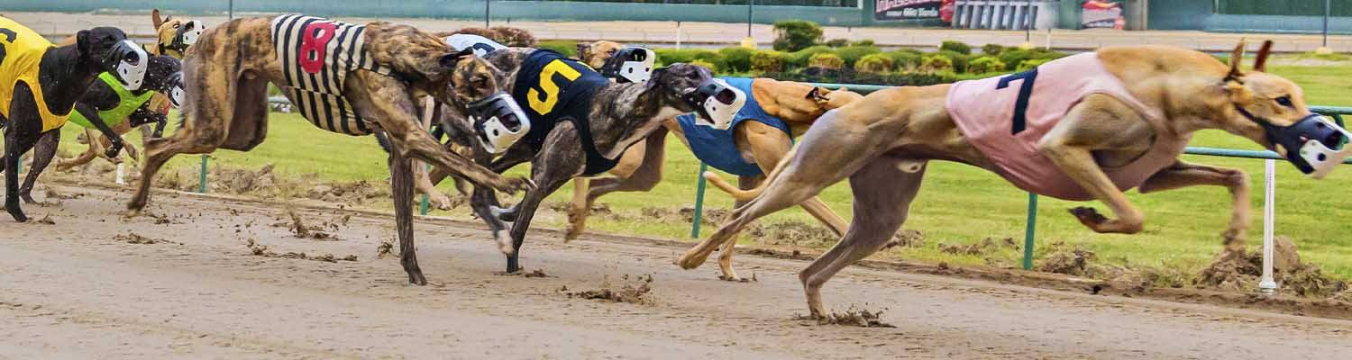 Greyhound dogs racing on track | Live & Simulcast Racing at Southland Casino Racing