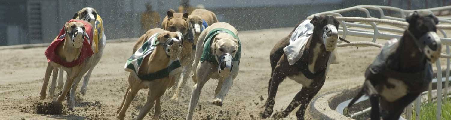 Greyhound dogs racing on track | Learn how to wager on Greyhound Racing at Southland Casino Racing